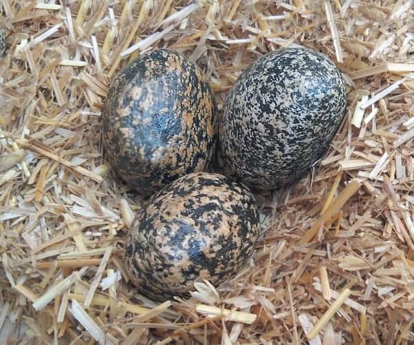 San Diego Birds Eggs Pebbles