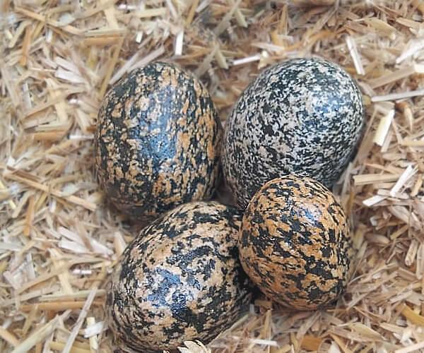 Birds Eggs Pebbles