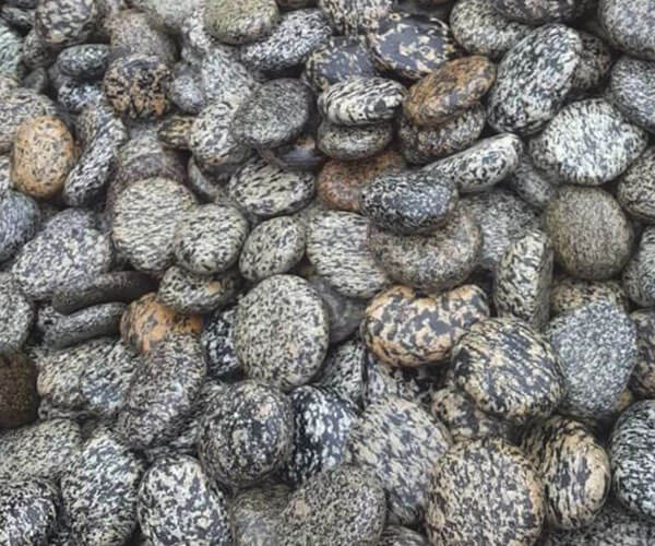 Leopard Pebbles San Diego